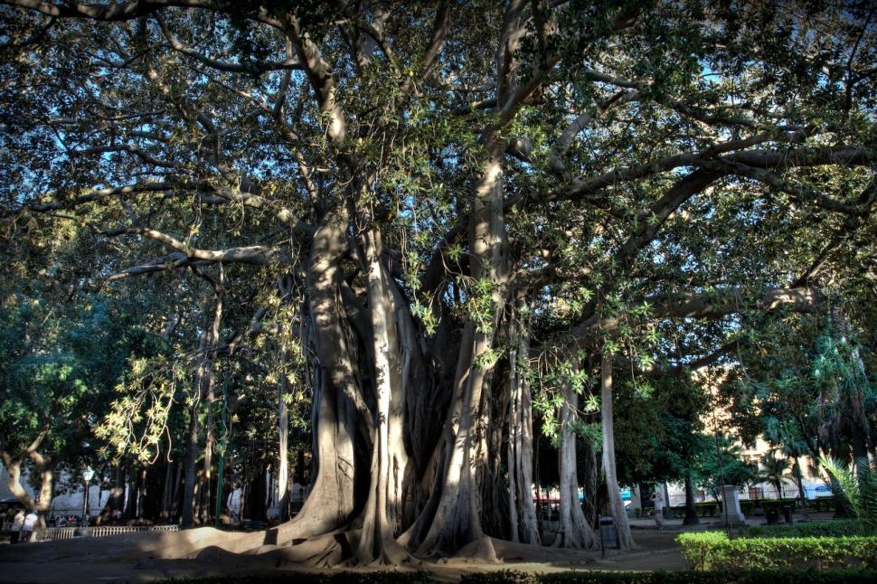 Palermo - Ficus Magnoliodes